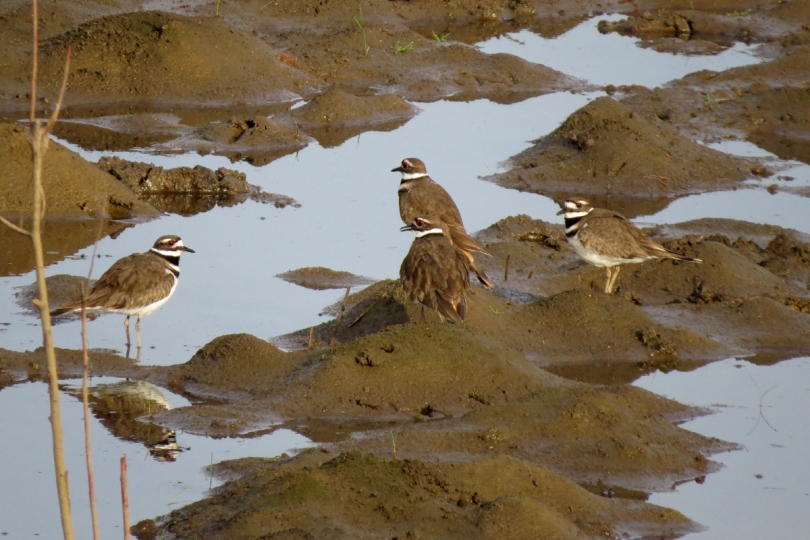 killdeer quartet