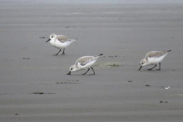 sanderlings 1