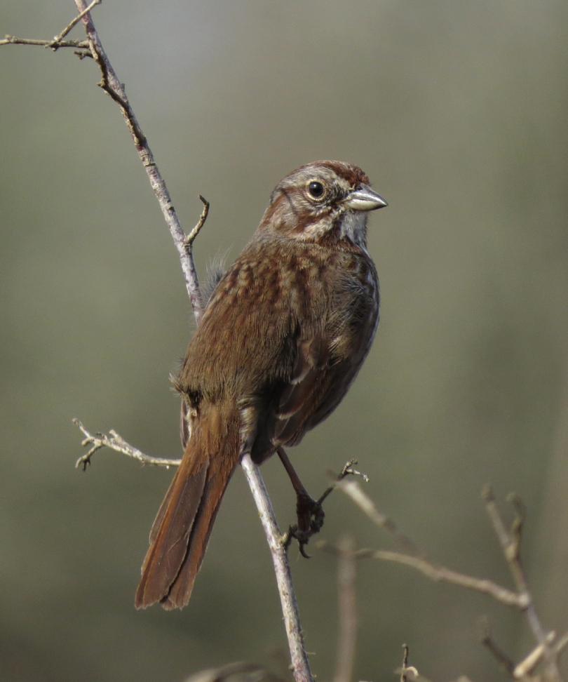 song sparrow 3