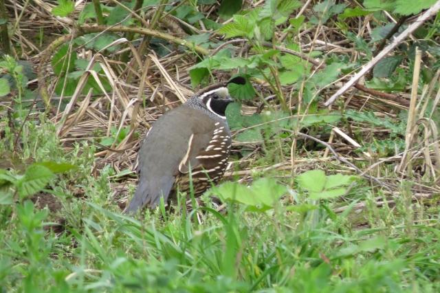 quail (3)
