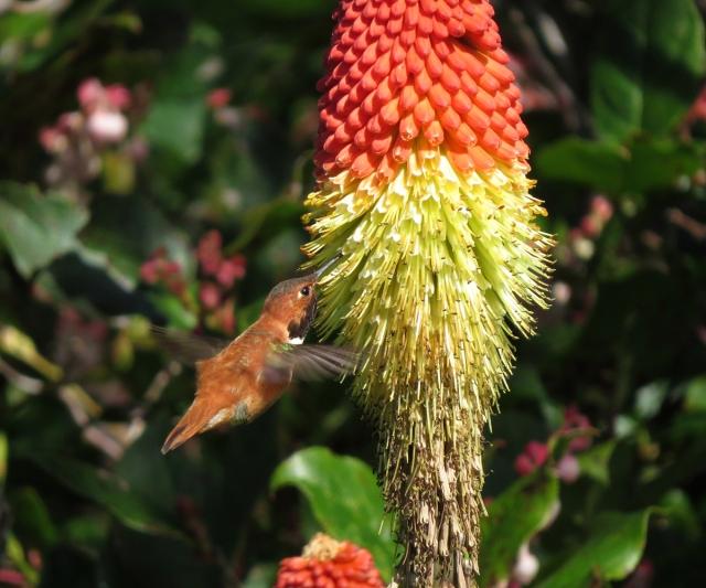 rufous hummingbird small