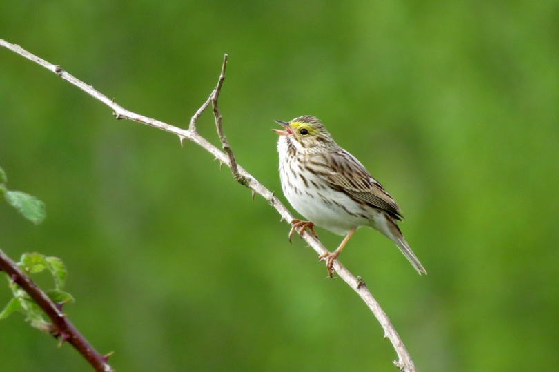 savannah sparrow 2