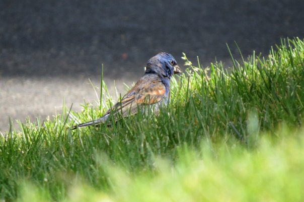 blue grosbeak in grass