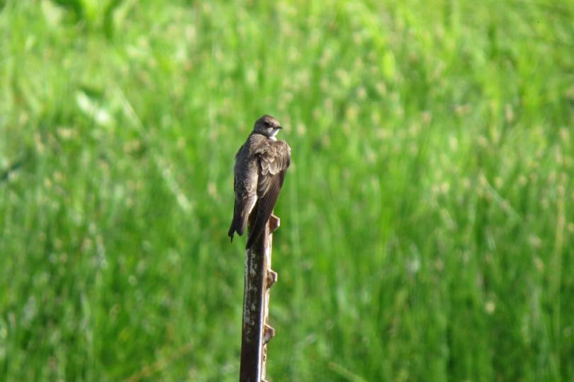 n. rough-winged 1