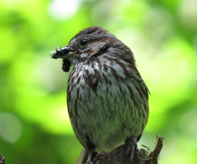 song sparrow 2