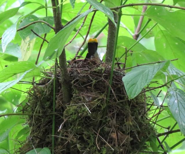 waxwing nest
