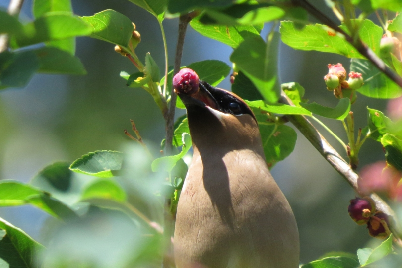 waxwing with fruit