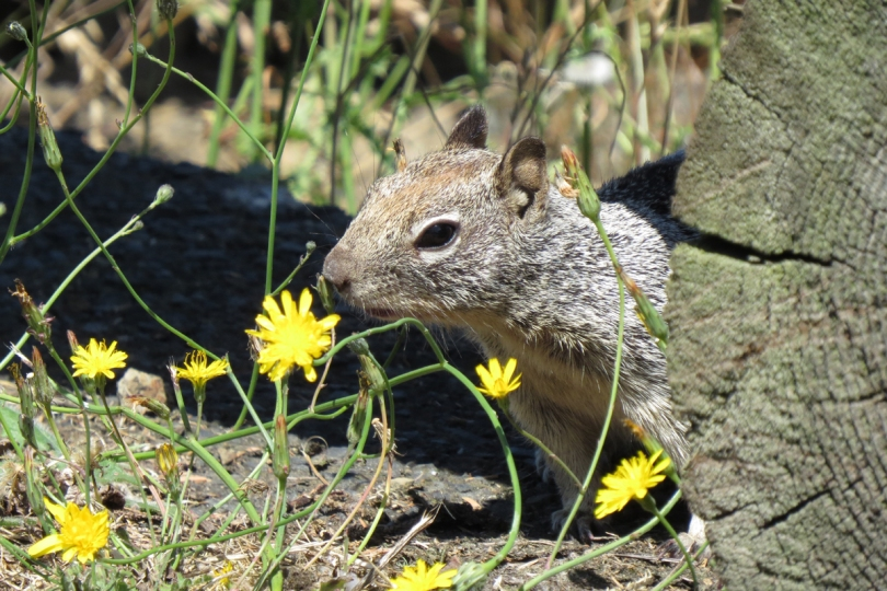 california ground squirrel