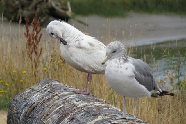 faded gull