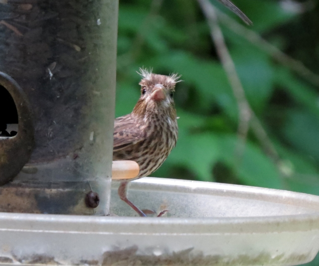 house finch front