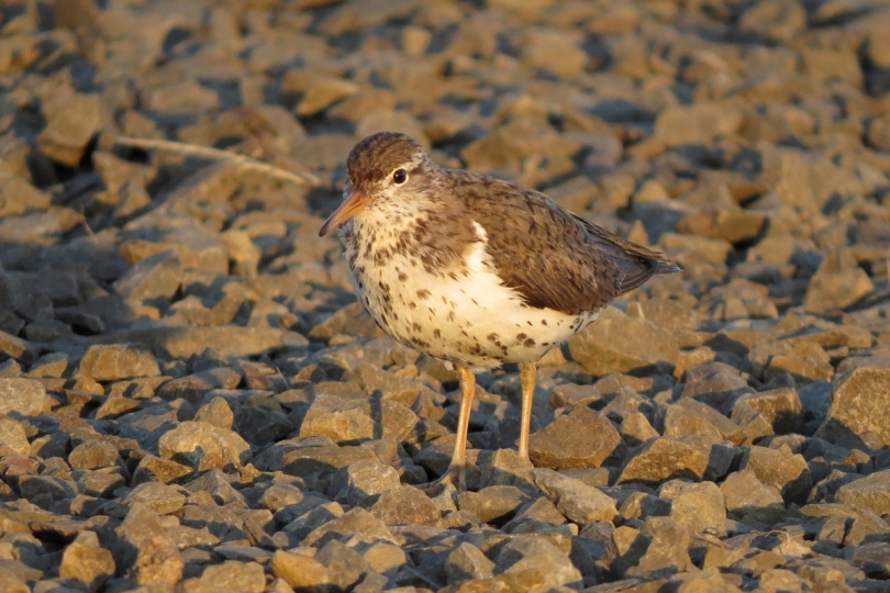 spotted sandpiper left