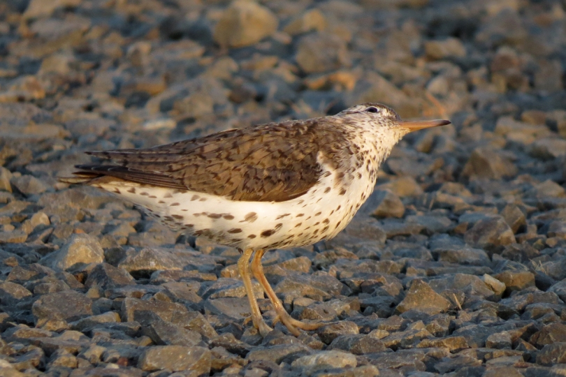 spotted sandpiper up