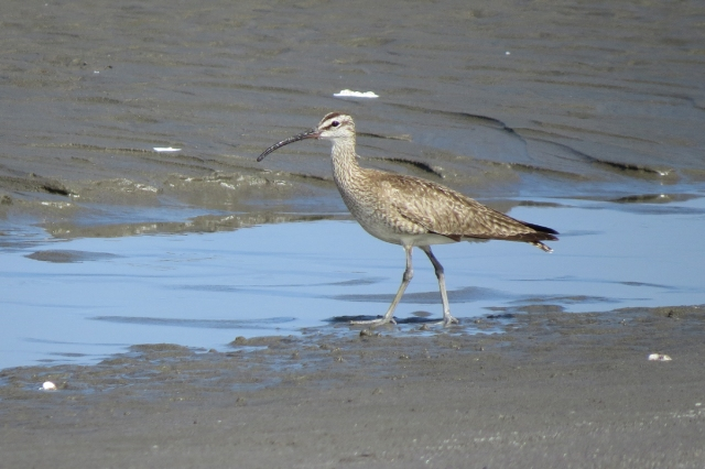 whimbrel left