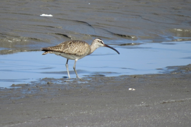 whimbrel right