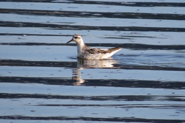 red phalarope 1