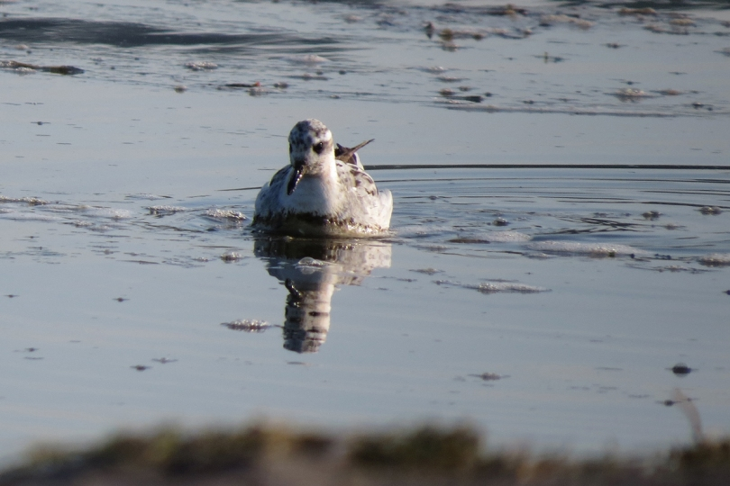 red phalarope 2