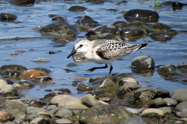 sanderling 7