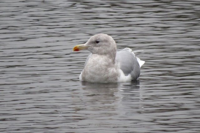 glaucous-winged 2