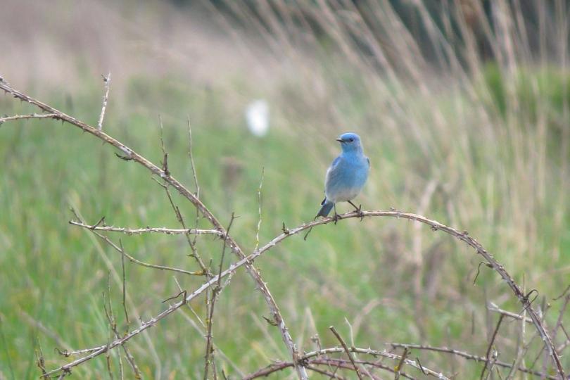 mt bluebird