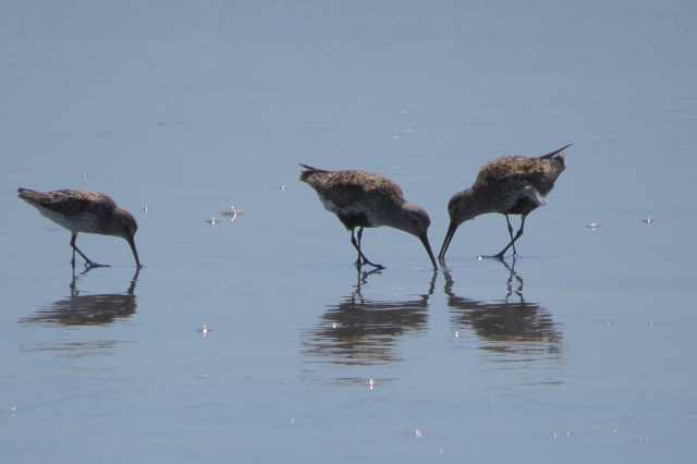 western and dunlin