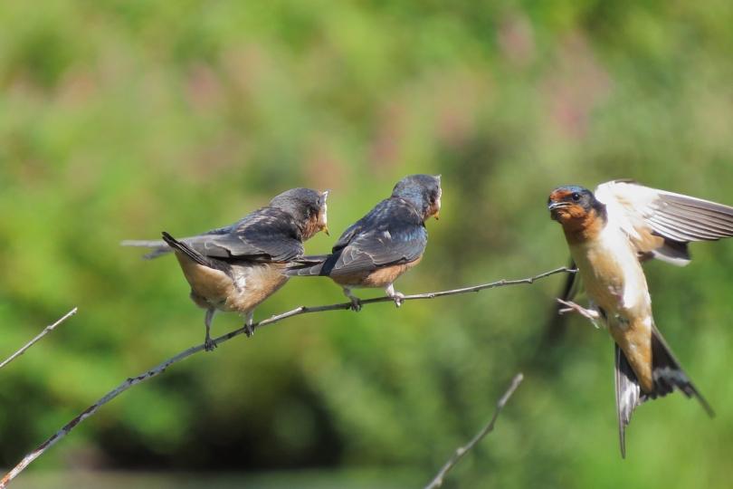 barn swallow feeding