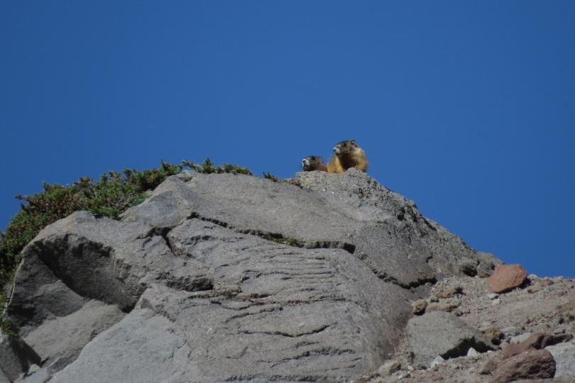 marmot pair