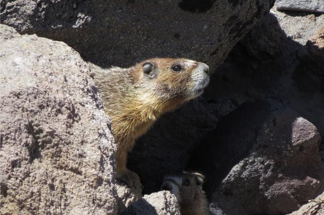 yb marmot 1