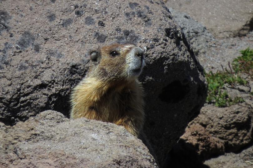 yb marmot