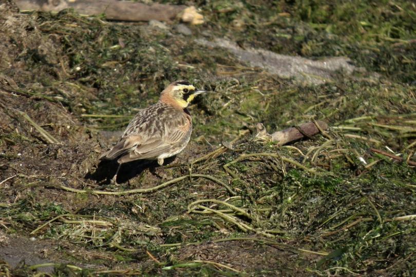 horned lark 3