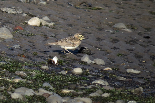 horned lark female