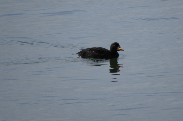 common-scoter-2