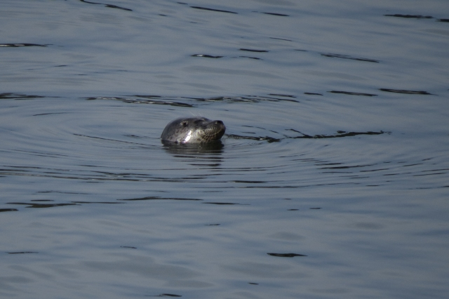 harbor-seal