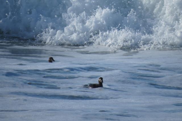 surf-scoters