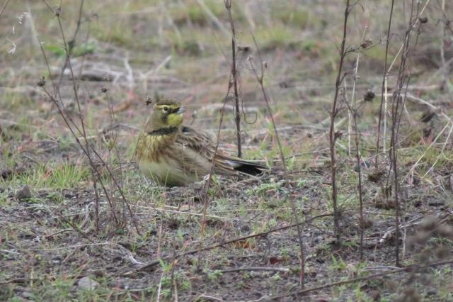 horned-lark-2