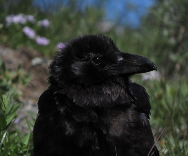 raven small