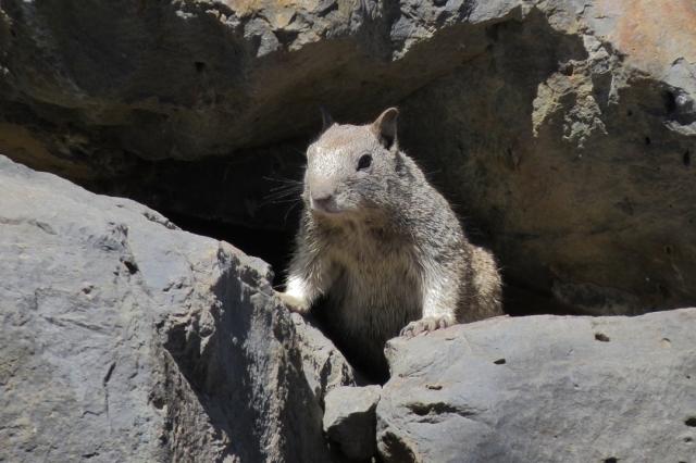 ca ground squirrel