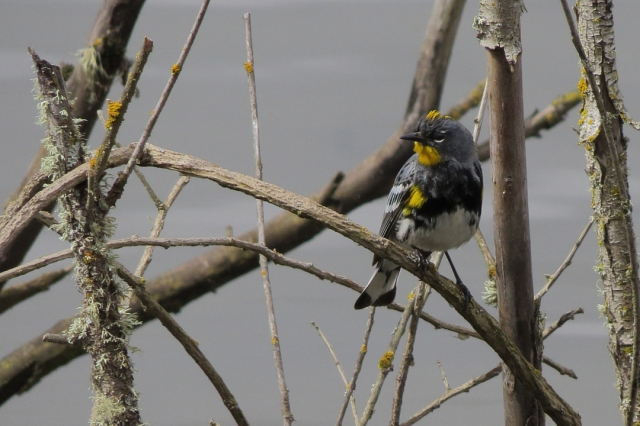 Yellow-rumped