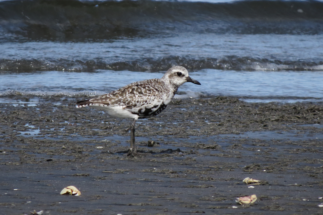 Black-bellied Plover small