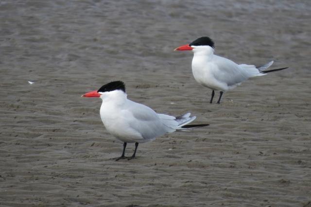 Caspian Tern duo small