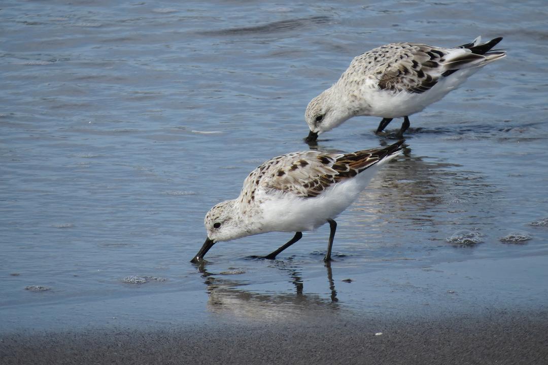 Sanderling duo small