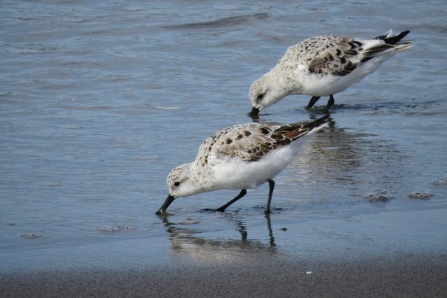 Sanderling duo small