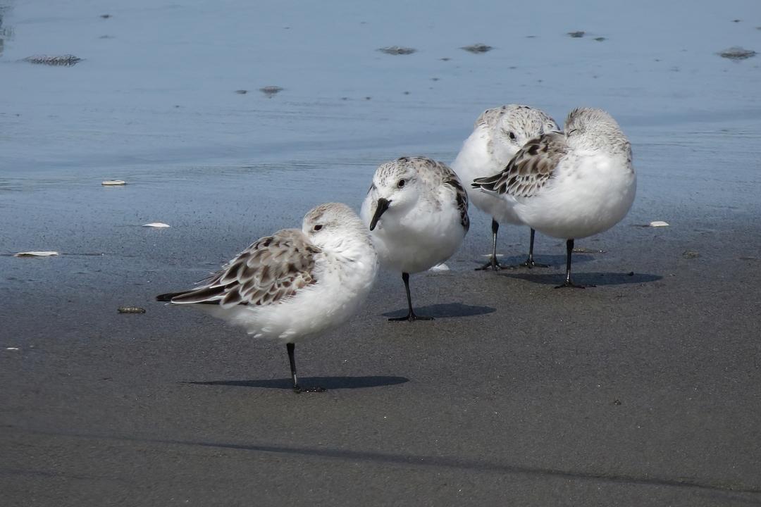 Sanderling flock small