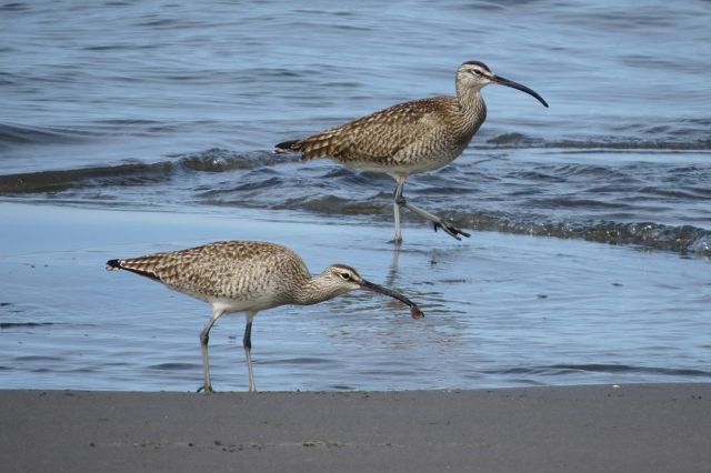 Whimbrel duo small