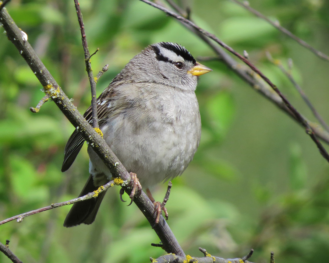wt sparrow 1