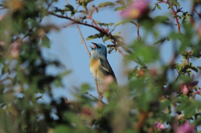 lazuli small singing