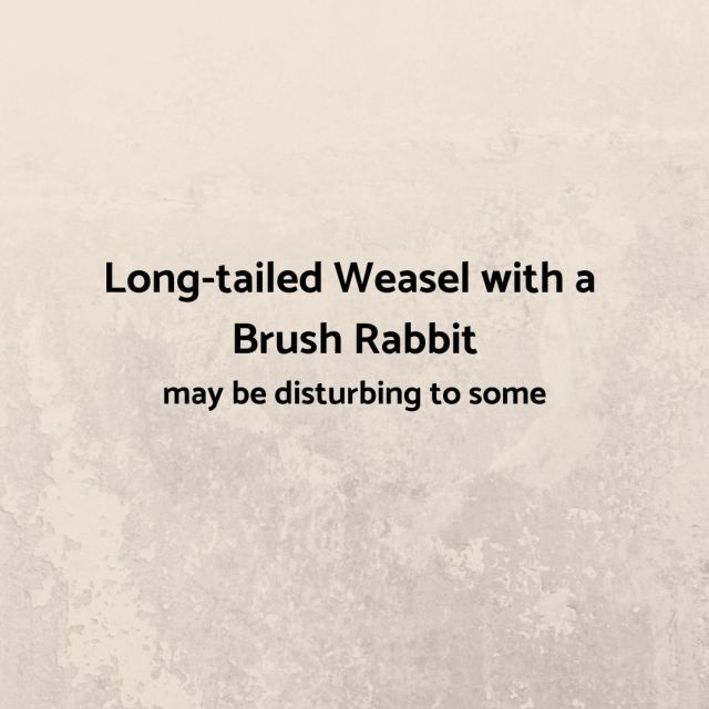 Long-tailed Weasel with a Brush Rabbit may be disturbing to some