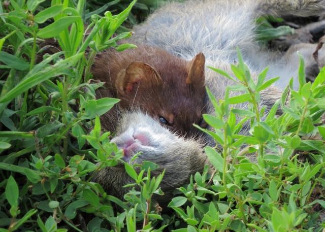 lt weasel closeup