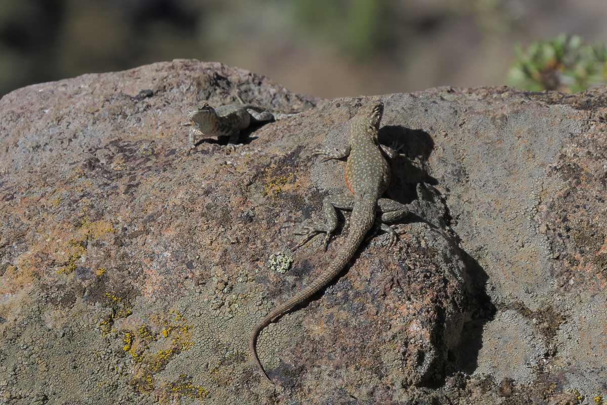 common side-blotched lizard pair