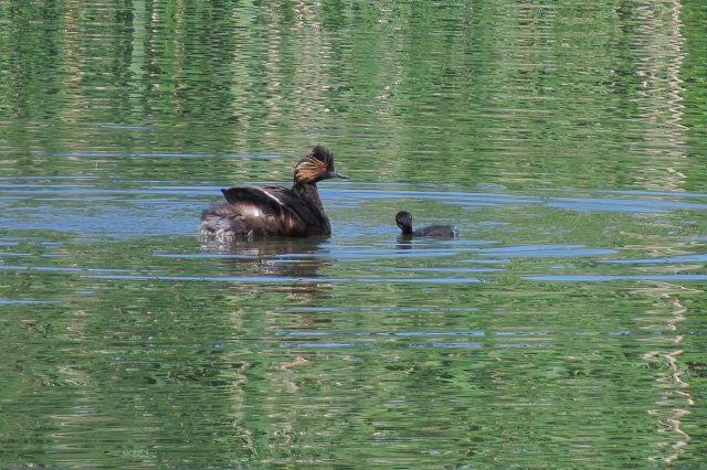 eared grebe and baby