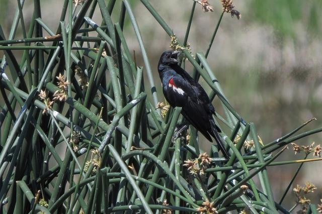 Tricolored Blackbird